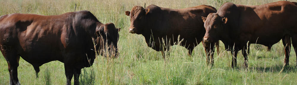 Stud Bonsmara Beef Cattle